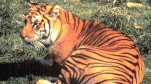 Recently Extinct Animals: Javan Tiger