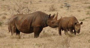 Recently Extinct Animals: Western Black Rhinoceros