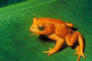 Recently Extinct Animals: Golden Toad
