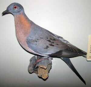 Recently Extinct Animals: Passenger Pigeon