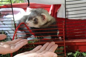 Assistance Animals: Therapy Ferrets